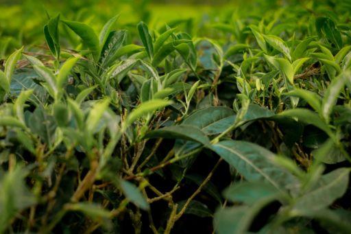 Tea plants in Munnar, Kerala.