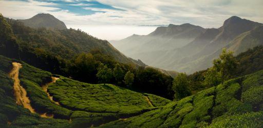 The tea fields of Munnar in Kerala, one of India's major tea growing regions.
