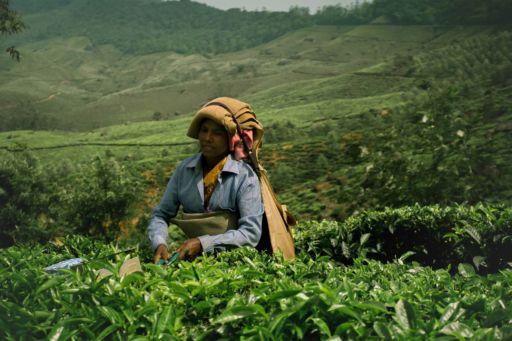 A tea worker in Munnar, Kerala.