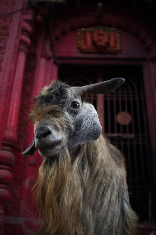 A goat stands outside a shrine at the Manikarnika Ghat in Varanasi, where cremations take place.