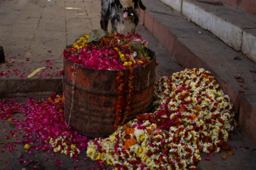 A goat eats discarded flower offerings in Varanasi