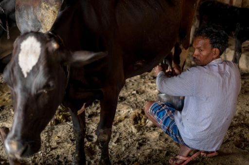 A man milks a cow in the cow shed in Varanasi.
