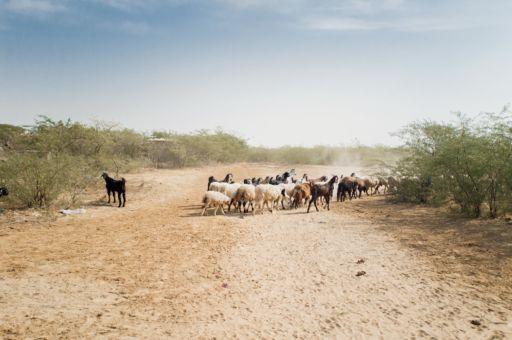 A herd of goats cross a path in a village in Kutch, Gujarat.