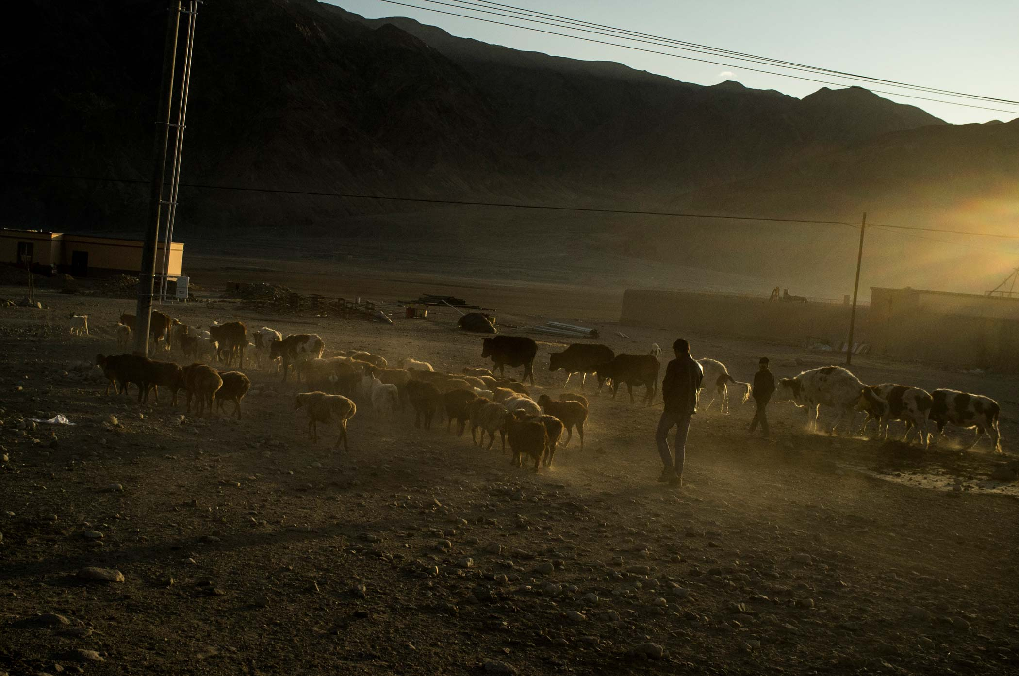 Men walk their sheep and cattle home, along a dusty road in Xinjiang, China.