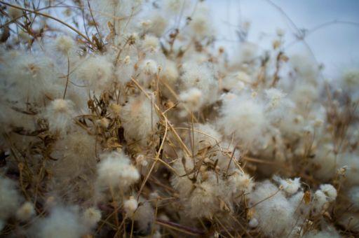 White plants in Xinjiang, China