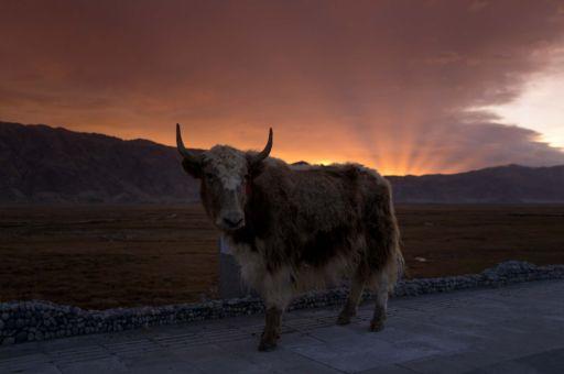 A yak in front of the sunrise in Tashkurgan, Xinjiang.