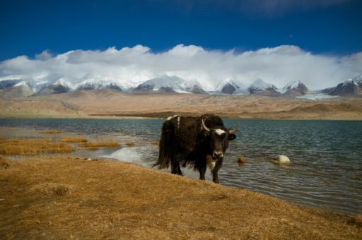 A yak stands at the shore of a lake.