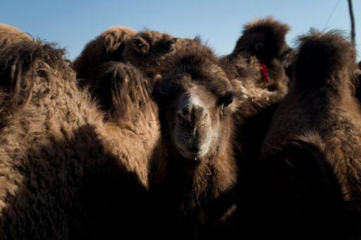 Camels at a market in Kashgar
