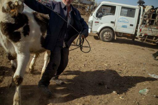 A man pulls a calf by a rope at a livestock market in Kashgar, Xinjiang.