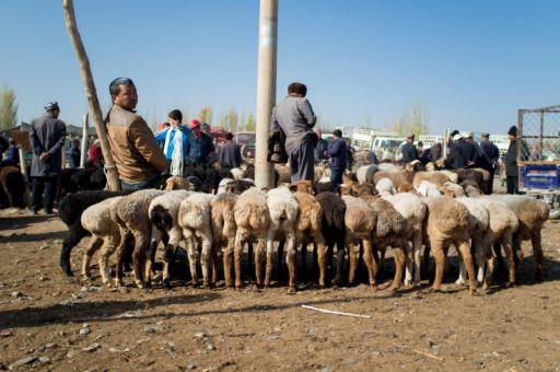 A row of fat-tailed sheep at a Kashgar livestock market.